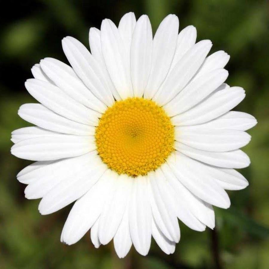 Большая ромашка цветы