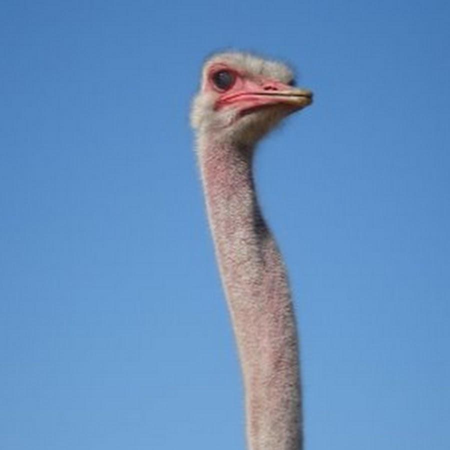 8 африканский страус