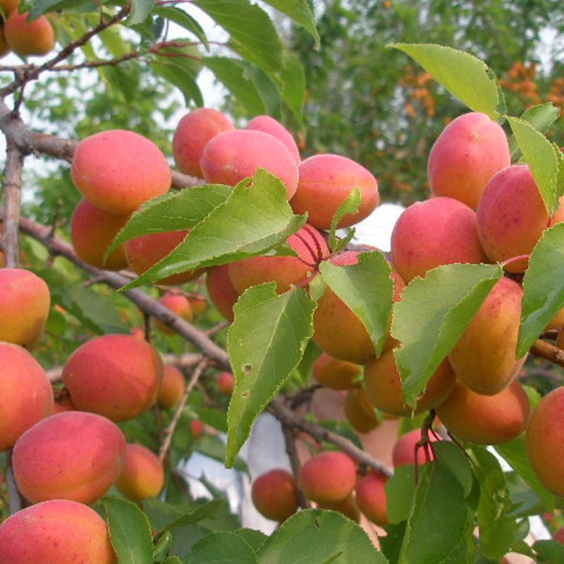 Выращивание абрикоса в тамбове 24