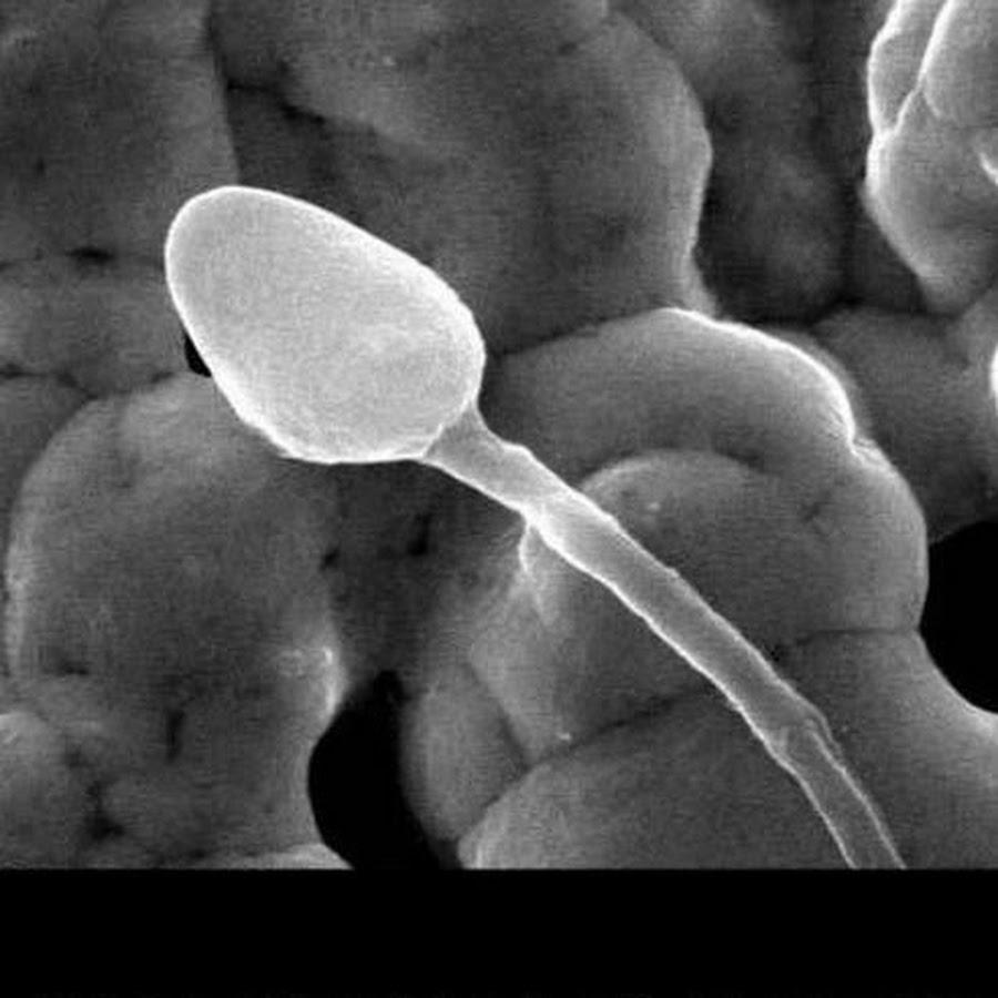 nauchniy-amerikanskiy-film-pro-spermatozoidi