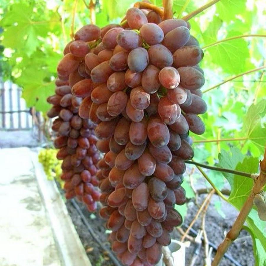 сорт винограда ромео фото описание