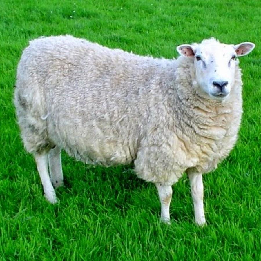 Секс человека и овцы 22 фотография