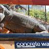 iguanaskater2