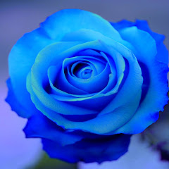 Blue Roses For Sale