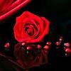 Rose Scarlett