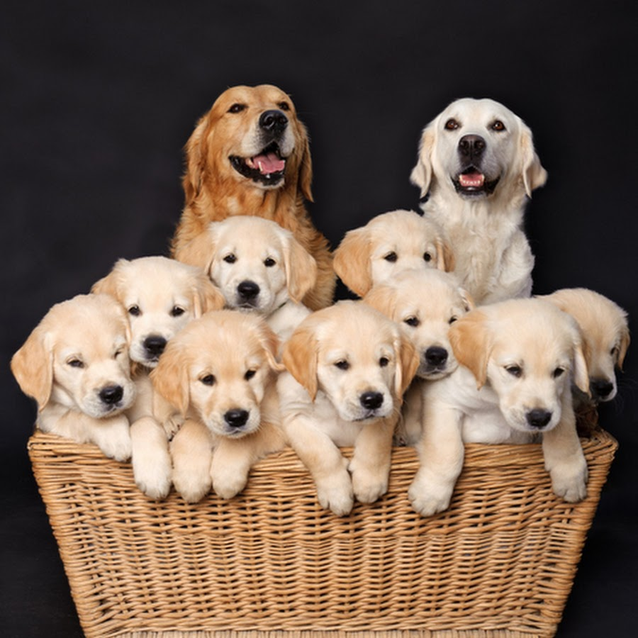 Puppy Diamond Dog Food >> Golden Retriever Lovers - YouTube