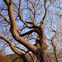 Quercus Polonus