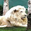 Youbie Lion