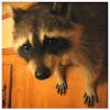 Raccoon Willie™