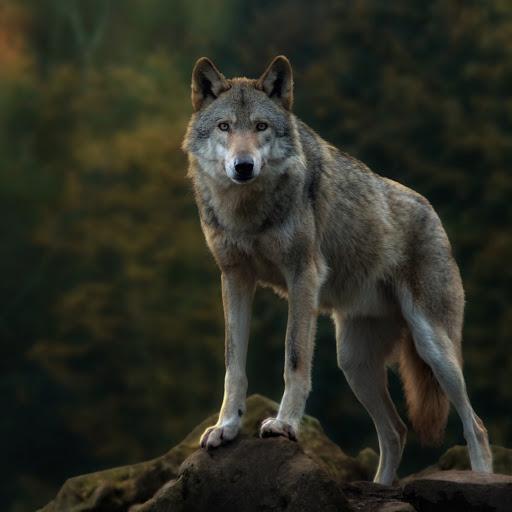 Nacht Wolf