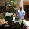 Paulownia Egypt شجرة الباولونيا فى مصر