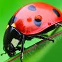 Si Kumbang