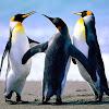 penguin5x5