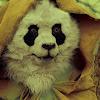Wastelander Panda