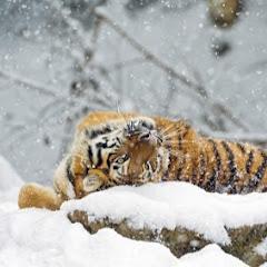 Lumi Tiikeri