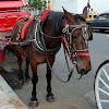 NYCLASS Ban Horse Carriages