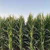 IL Corn