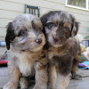 Dreamydoodles NW - Aussiedoodles & Labradoodle Puppies