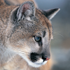 Kimba Puma