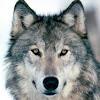 Robbiewolf