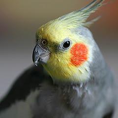 Cockatiel Avian