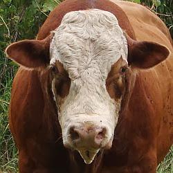 XerSuperNational Bull
