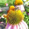 Queens Bees