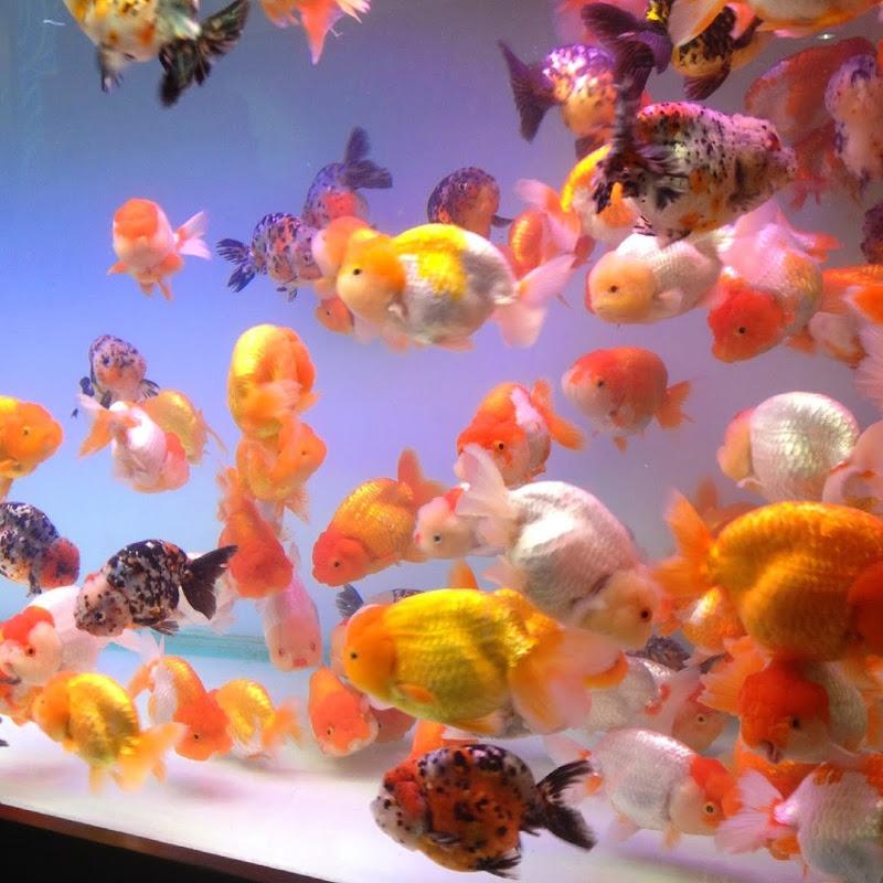 Pez goldfish que nunca debes reproducir doovi for Criadero de peces goldfish