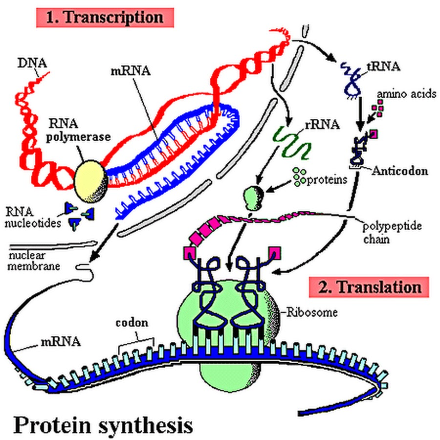 essay on protein functions