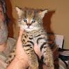 Valleystables-exotics.com: Breeders of the African Serval Cat (leptailurus serval)