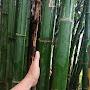 TTK bamboo
