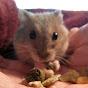 Cute Baby Dwarf Hamster
