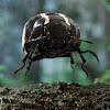 blackbeetle