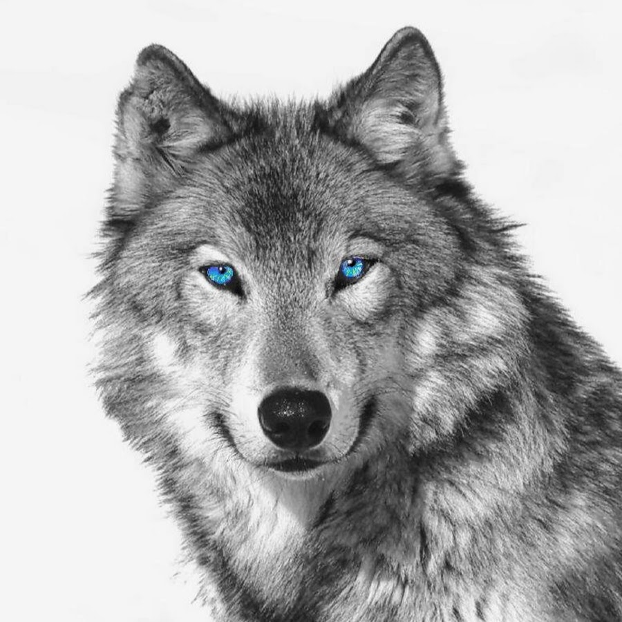 how to draw a realistic wolf head front view