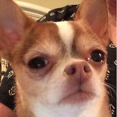 Choco The Macho Chihuahua