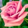 Edens Rose