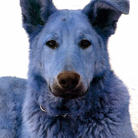 BlueDog15391