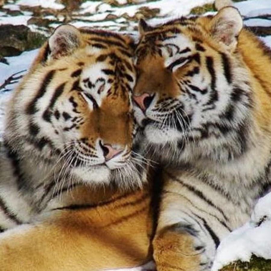 фото влюблённого тигра