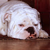 bulldogproductions42