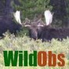 wildobservations