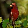 Cardinal Speak