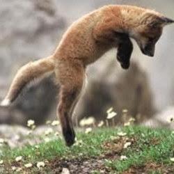 foxhop