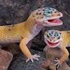 leopardgeckobreeder9