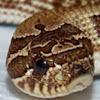 Northwest Serpents