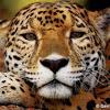 Fractal Jaguar
