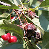 treefruitpathology