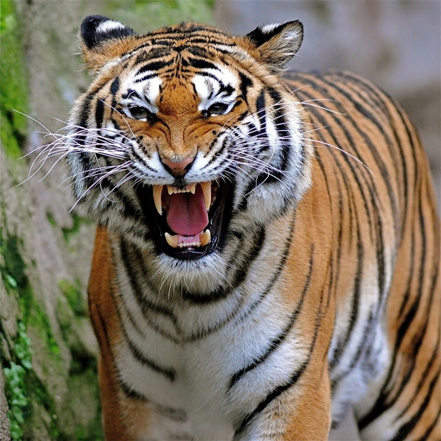 tiger poaching essay Poaching one tiger can bring in 10 years' income on the black market it is estimated that in 1991 have efforts to curb the trade in tiger parts worked.