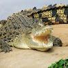 crocodylus73