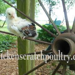 Chicken Scratch Poultry