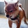 howtindog